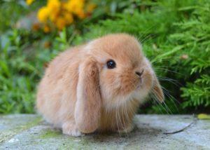 Bảo dưỡng và chăm sóc thỏ trang trí tại nhà cho người mới bắt đầu