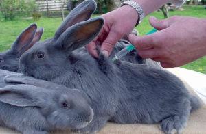 Quy tắc tiêm phòng cho thỏ tại nhà và thời điểm tiêm phòng